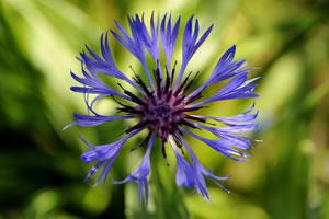 Flockenblume blau