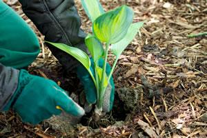 Funkien einpflanzen