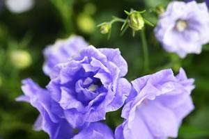 gefüllte Glockenblumen