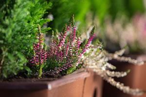 Heide im Blumenkasten