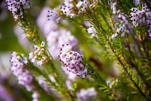 Blüten von Heidepflanzen