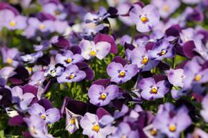 violette Hornveilchen