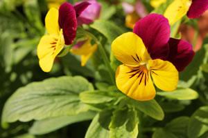 zweifarbige Blüten