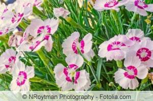Nelken-sorten - Dianthus Caryophyllus, Deltoides & Chinensis Nelken Im Garten Pflanzen Arten Blumen Tipps