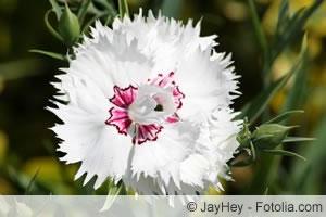 Nelken, Dianthus - Pflege, Schneiden Und Überwintern Nelken Im Garten Pflanzen Arten Blumen Tipps