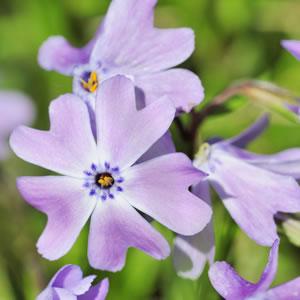 Blüte der Phlox-Sorte