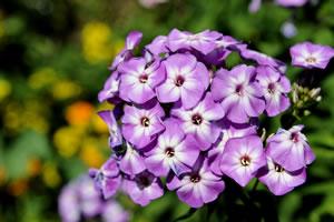 violette Phlox
