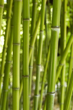 riesenbambus winterharter bambus pflanzen und pflege. Black Bedroom Furniture Sets. Home Design Ideas