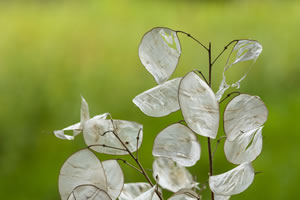 Silberblatt mehrjährig