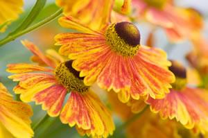 Sonnenbraut mit gelben Blüten