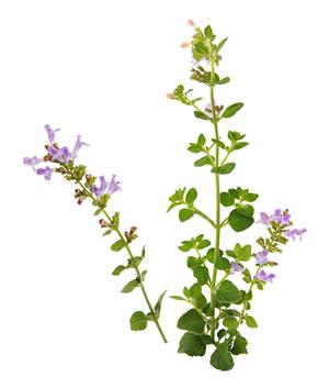 Blüten des Steinquendels