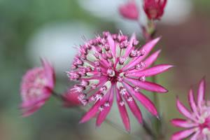 rosa Sterndolde