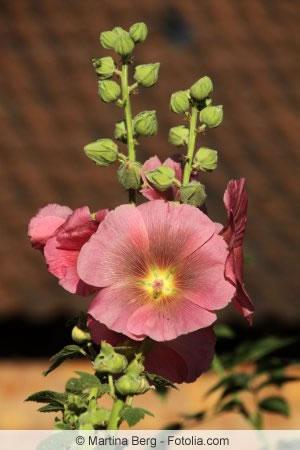 stockrosen alcea rosea aussaat pflanzen und schneiden. Black Bedroom Furniture Sets. Home Design Ideas