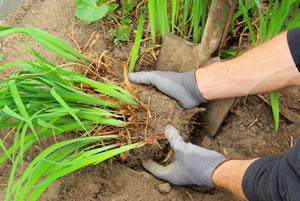 Taglilien pflanzen