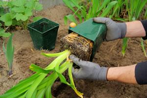 Taglilien umpflanzen