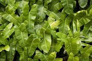 Blätter von Alokasien