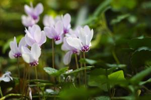 rosa Garten-Alpenveilchen
