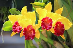 cattleya orchidee pflege anleitung. Black Bedroom Furniture Sets. Home Design Ideas