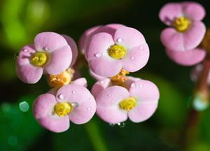 Rosa Euphorbia milii