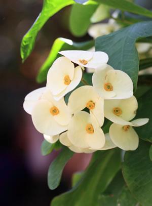 weiße Blüten des Christusdorns