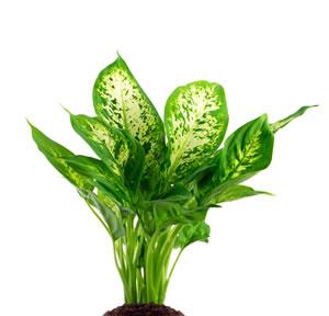 Dieffenbachie dieffenbachia pflege umtopfen vermehren for Pflanzen zimmer