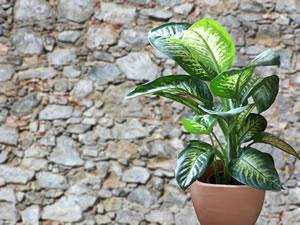 Dieffenbachie, Dieffenbachia - Pflege, Umtopfen & Vermehren Tipps Umtopfen Zimmerpflanzen