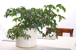 birkenfeige ficus benjamini pflege tipps bei blattverlust. Black Bedroom Furniture Sets. Home Design Ideas