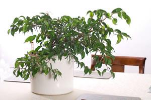 Ficus im Büro