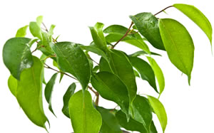 Blätter des Ficus