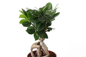 Ficus Pflanze