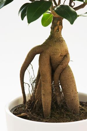 Wurzeln des Ficus Ginseng