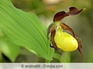 frauenschuh orchidee paphiopedilum arten und pflege. Black Bedroom Furniture Sets. Home Design Ideas