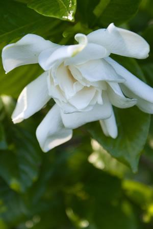 Blüte der Gardenie