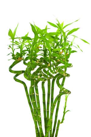 glücksbambus (lucky bamboo) - einpflanzen und pflege, Gartengerate ideen