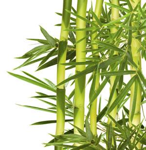 beliebte asiatische pflanzen und zimmerpflanzen. Black Bedroom Furniture Sets. Home Design Ideas