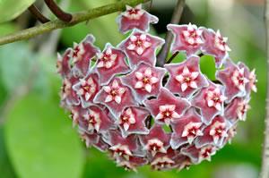 Wachsblume porzellanblume pflege der hoya - Zimmerpflanzen sonniger standort ...