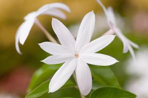 jasmin-pflanze - pflege, schneiden & Überwintern, Garten und Bauen