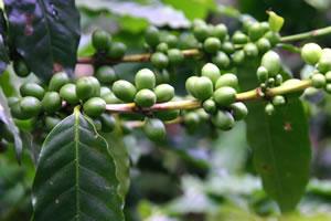 Kaffeepflanze mit Früchten