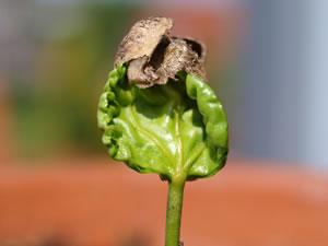 Kaffeepflanze aus Samen