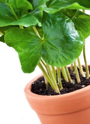 Kaffeepflanze jung