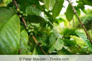 kaffeebaum coffea arabica pflanze pflege und schneiden. Black Bedroom Furniture Sets. Home Design Ideas