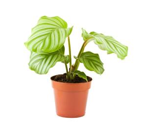 Blätter der Calathea