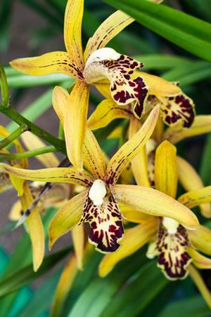 cymbidium orchideen pflege und zum bl hen bringen. Black Bedroom Furniture Sets. Home Design Ideas