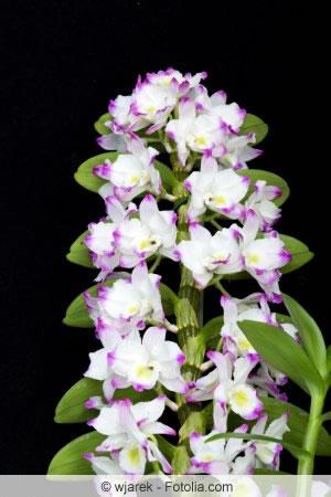 dendrobium nobile orchidee pflege zum bl hen bringen. Black Bedroom Furniture Sets. Home Design Ideas