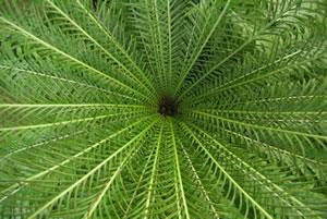 Blätter der Sagopalme