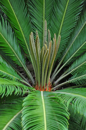 Palmfarn mit Blüte