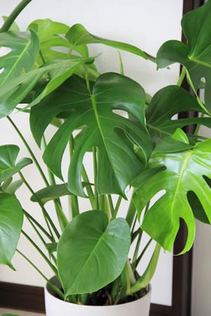 Monstera als Zimmerpflanze