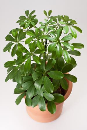 Schefflera, Strahlenaralie - Pflege Und Vermehren Pflege Von Pflanzen Probleme Grunde