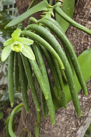vanilla planifolia vanille orchidee pflanzen und pflege. Black Bedroom Furniture Sets. Home Design Ideas