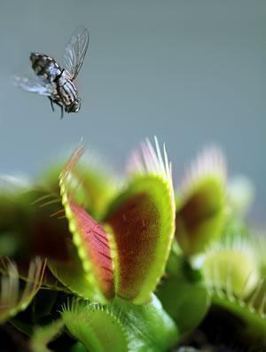 Venusfliegenfalle mit Fliege